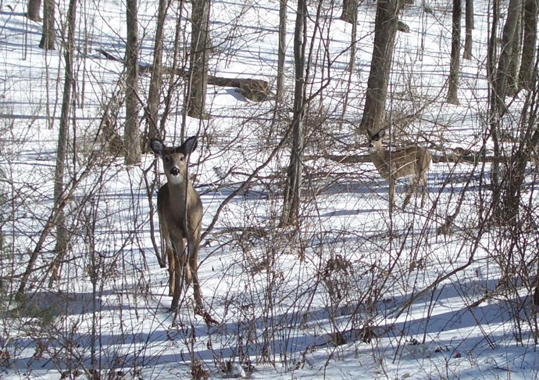 Connecticut deer
